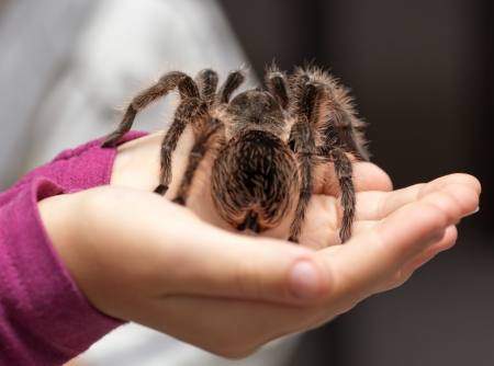 Big hairy tarantula on child