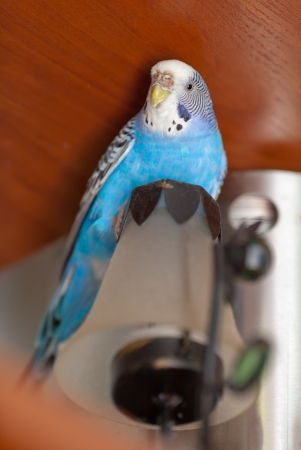 Blue parrot escaped from cage and found a shelter on candlestick  lamp Stock Photo - 17044623