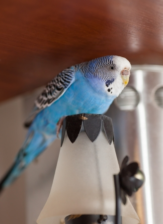 escaped: Blue parrot escaped from cage and found a shelter on candlestick  lamp Stock Photo
