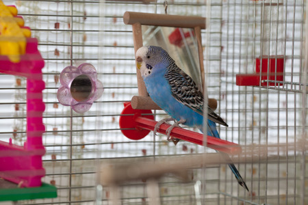 Blue budgerigar sitting in cage Фото со стока
