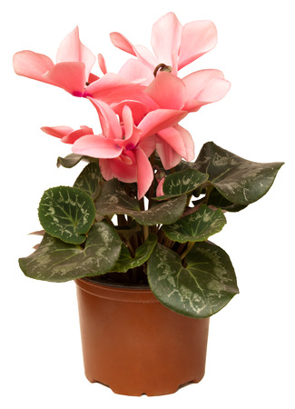 sowbread: Blooming cyclamen in pot. Isolated on white background Stock Photo