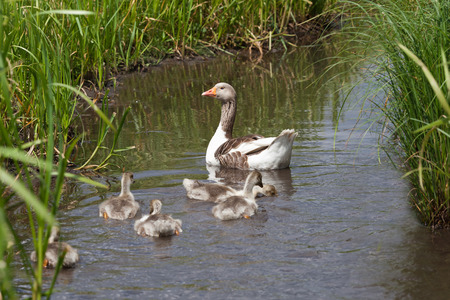Geese with young goslings swimming in river photo