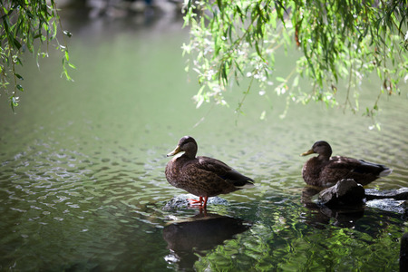 palmiped: Two mallards in a lake Stock Photo