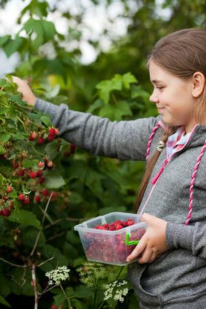 Young girl harvesting  raspberries in the garden photo