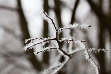 formed: Hoarfrost formed on tree branch