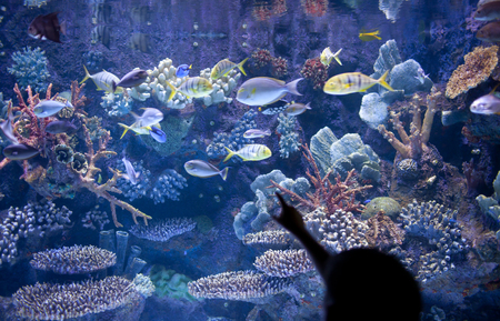 fish exhibition: Silhouette of child as he points to fish and corals in aquarium Stock Photo