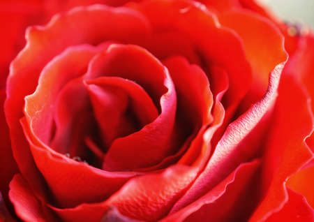beautiful macro closeup of a red rose. in the old town Bern, Switzerland