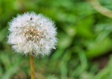 Beautiful macro close up view of a dandelion in the farm fields at the Bahnstadt in Heidelberg, Germany