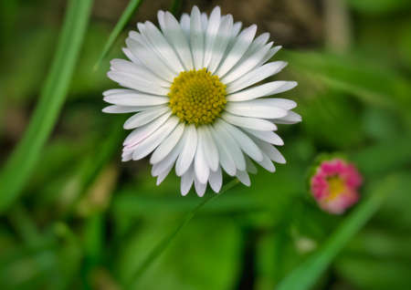 Beautiful macro close up view of a daisy in the farm fields at the Bahnstadt in Heidelberg, Germany