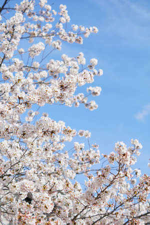 Beautiful cherry blossoms trees blooming in spring at the farm fields in Heidelberg, Germany Stock fotó