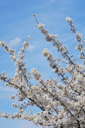 Beautiful cherry blossoms trees blooming in spring at the Bahnstadt farm fields in Heidelberg, Germany Stock fotó