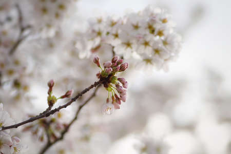 beautiful cherry blossoms blooming in spring at the farm fields in Heidelberg, Germany