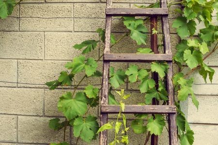 stepladder: Stepladder laying above the wall in vineyard.