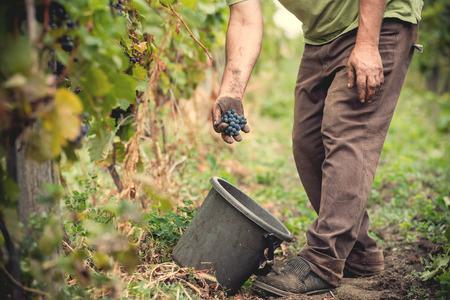 winery: man is working in a vineyard