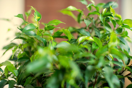 benjamin: Floral background. Glossy green leaves of a ficus of Benjamin.