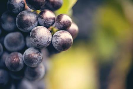 Grape macro in wineyard on a sunset