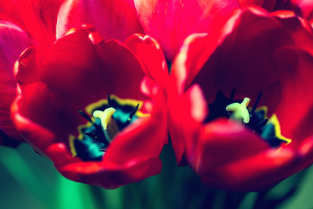 beautiful red tulips close up: Close up bouquet of beautiful red tulips.