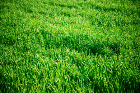 medium length: Seamless tiling medium length grass texture. Part of the seamless tiling collection Stock Photo
