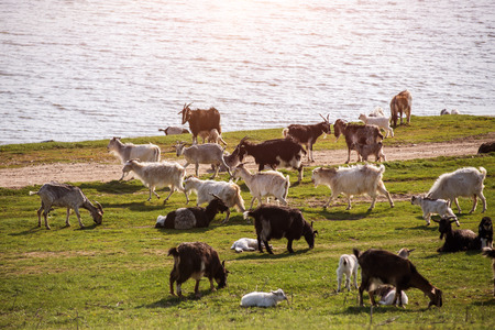 Goats on a green meadow. Spring time photo