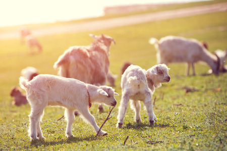ovine: Goats on a green meadow. Spring time