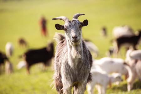 緑の草原に山羊。春の時間
