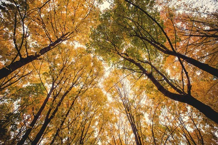 tree canopy: Tree canopy in autumn beech forest.
