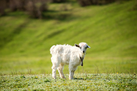 yeanling: Cute young white goatling outdoors. Summer time