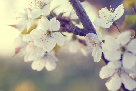 cherry tree flowers blooming in the spring. Banco de Imagens