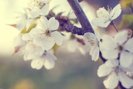 cherry tree flowers blooming in the spring. Standard-Bild