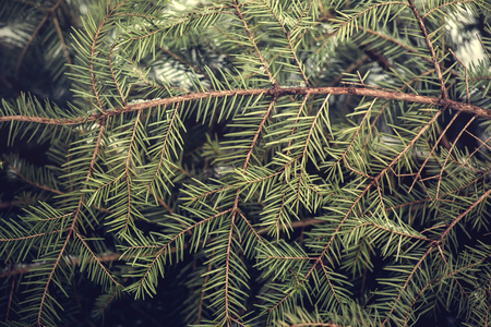 Background of Christmas tree branches in winter time. Standard-Bild