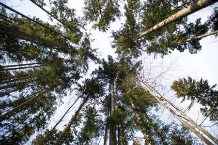 tree canopy: Tree canopy in beech forest