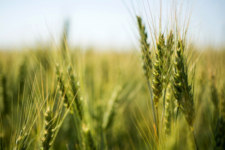 non cultivated: green wheat. Macro image on a bright day