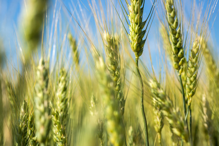 non cultivated land: green wheat. Macro image on a bright day