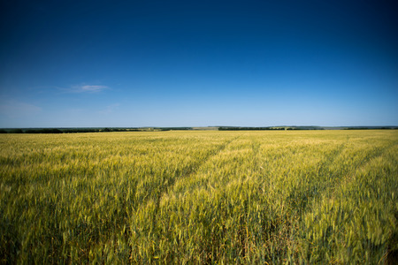 non cultivated: green wheat field and blue sky spring landscape.
