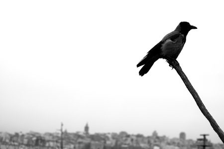 black crow on the branch on the city background Standard-Bild