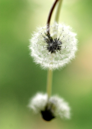 subtlety: Two flowers dandelions dandelion with blurred green background