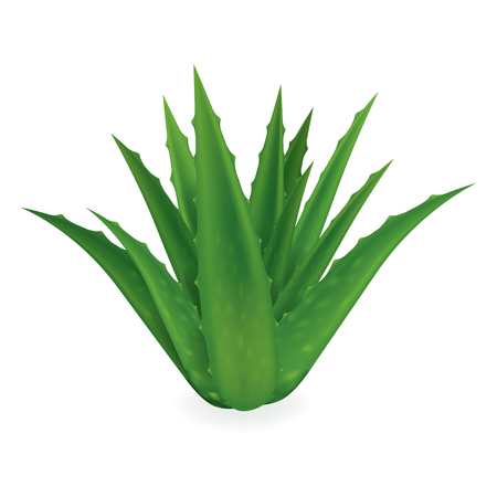 Aloe Vera vector illustration on white background.