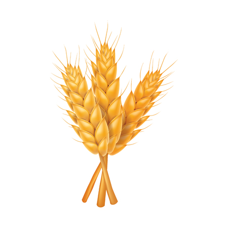 Rice , wheat , barley and oat vector illustration
