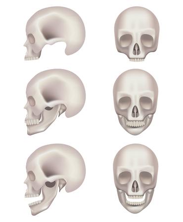 Skull vector illustration on white background.