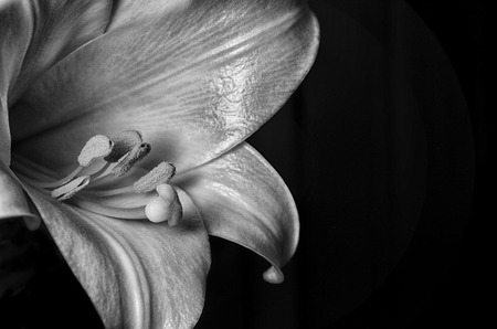 easter lily: Black & White Easter Lily Stock Photo