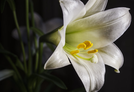 easter lily: Easter Lily Flower