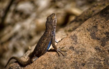 Lizard, Zion National Park