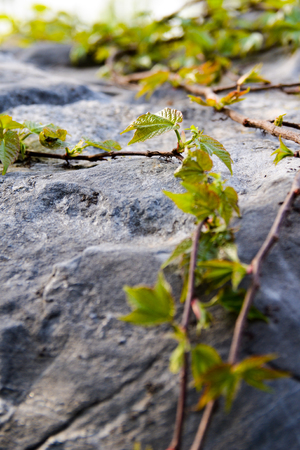 bourgeon: ivy plants