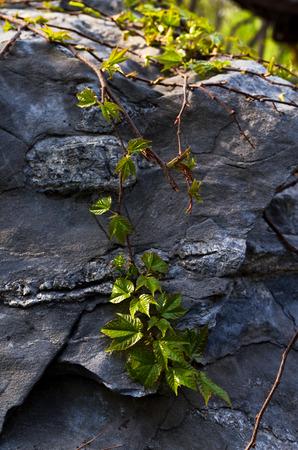 suny: ivy plants