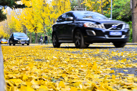 drove: Beijing,China-October 30th,2016-The car drove past the road of the slow down ginkgo leaves. Editorial