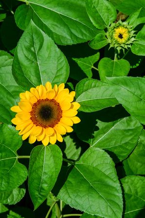 Close up to a sunflower in the sunflower planting field