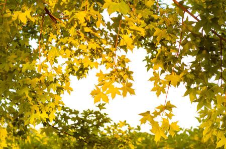 黄金の太陽と黄色の葉