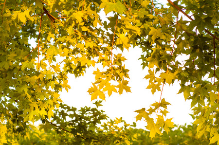 golden sunshine and yellow leaves