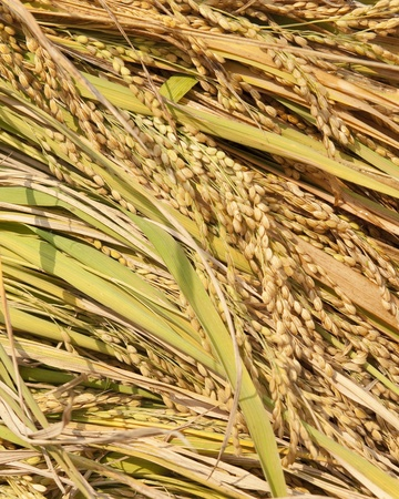 Rice, the most important harvest in Vietnam Stock Photo