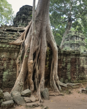 Close-up of Huge Strangler Figs Engulfing Ancient Ruins of Ta Prohm built in 12th Century photo